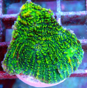 Meeresaquaristik News: Coral of the week