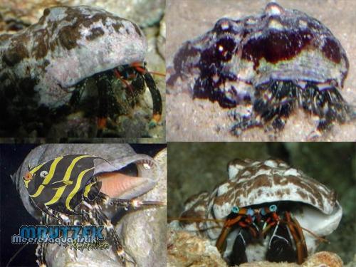 Einsiedlerkrebse klein diverse arten mrutzek for Kleine teichfische arten