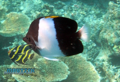 Brown And White Butterflyfish Zoster Brown-and-white