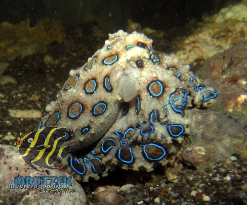 krake für aquarium kaufen