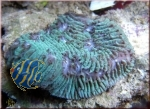 Lithophyllon undulatum greenblue  (Originalphotos)