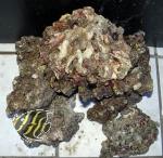 Sulawesi Lebendes Riffgestein