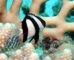 Dascyllus aruanus - Dreibinden Preußenfisch